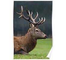 Profile Of A Red Deer Stag - (Cervus elaphus) Poster