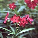 Nerium Oleander by ZaQQy J