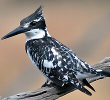 African Pied Kingfisher by loz788