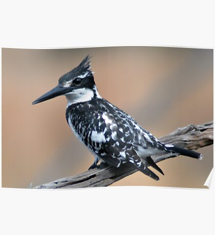 African Pied Kingfisher Poster