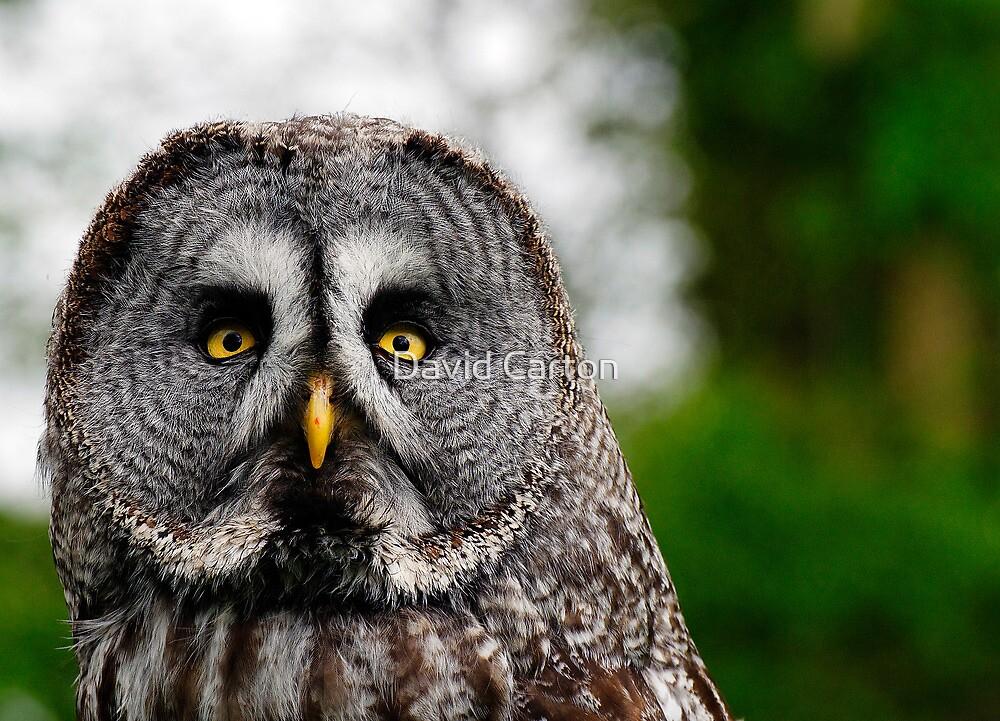 Great Grey Owl, Strix nebulosa by buttonpresser