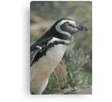 Magellanic Penguin Metal Print