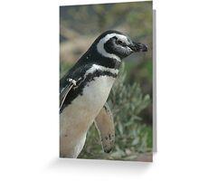 Magellanic Penguin Greeting Card