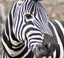 Adult  Plains Zebra by loz788