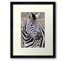 Adult  Plains Zebra Framed Print