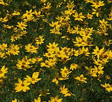 Coreopsis by Lyle Hatch