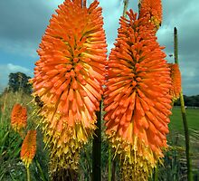 Red Hot Pokers - (Kniphofia uvaria) by Robert Taylor