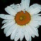 Rainy Daisy by Tori Snow