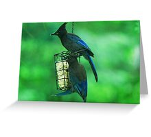 Stunning Steller's Jays Greeting Card