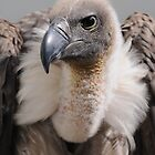 White-backed vulture &#x27;Dyson&#x27; by Simone Kelly
