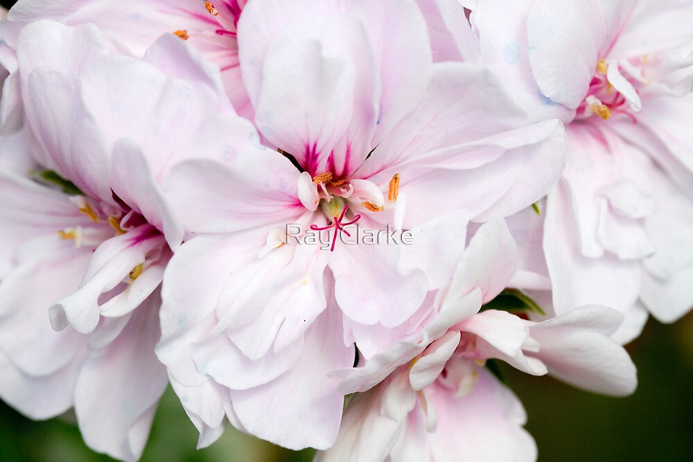 Appleblossom Geranium by Ray Clarke