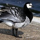 Barnacle Goose by snapdecisions