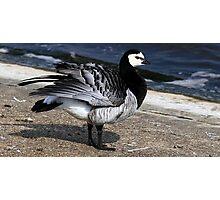 Barnacle Goose Photographic Print