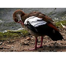 Egyptian Goose Photographic Print