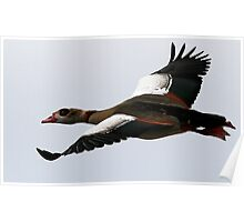 Flight Of The Egyptian Goose Poster