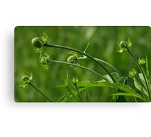 Gray Headed Coneflower Buds Canvas Print