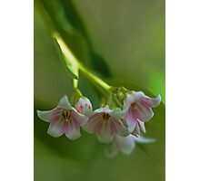 Beautiful Spreading Dogbane Photographic Print