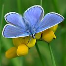Common Blue on Yellow by nickyv33