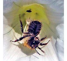 Bee On Flower 0008 Photographic Print