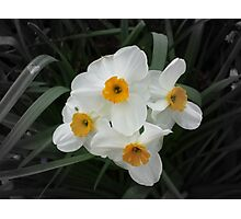 Daffodils Selectively Photographic Print