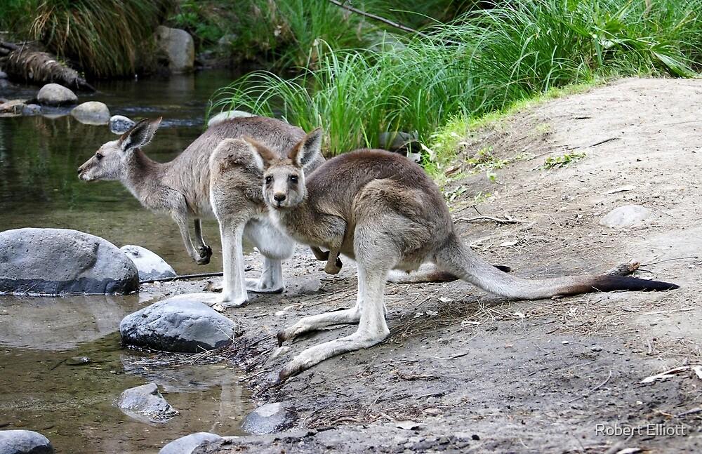 Eastern Grey Kangaroos  by Robert Elliott