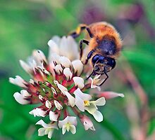 Bee On Flower 0024 by mike1242