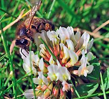 Bee On Flower 0027 by mike1242