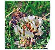 Bee On Flower 0027 Poster