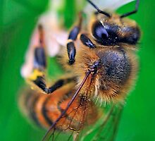Bee On Flower 0030 by mike1242