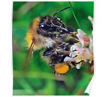 Bee On Flower 0039 Poster