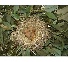 #1: baby Robins  Photographic Print