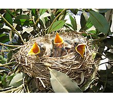 #2 baby Robins Photographic Print
