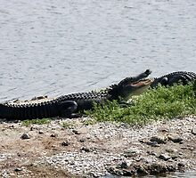 Alligators Open Wide by Paulette1021