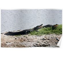Alligators Open Wide Poster