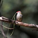 Red-browed Finch by Kerryn Ryan, Mosaic Avenues