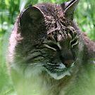 Bobcat by CMCetra