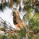 Fledgling - Great Horned Owl 2 by Sherry Pundt