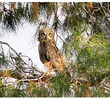 Fledgling - Great Horned Owl 2 Photographic Print