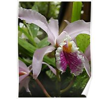 Queen of the Orchids - Cattleya Poster