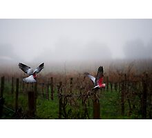 galahs in the mist Photographic Print