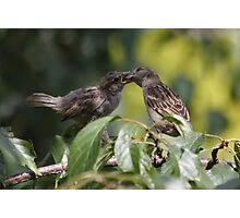 Feeding Time : Sparrows Photographic Print