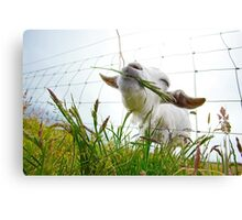 Irish Goat Canvas Print