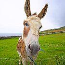 Dingle Donkey by Philip Cozzolino
