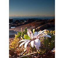 Sea Side Daisy Photographic Print