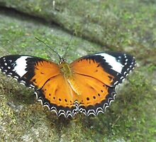 Orange Lacewing Butterfly by Kymbo