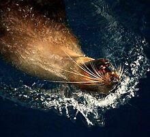 Australian Fur Seal by Rick Grundy