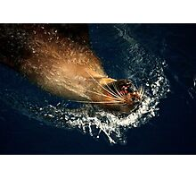 Australian Fur Seal Photographic Print