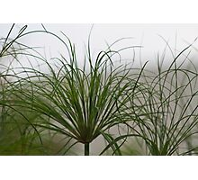 Papyrus In The Fog  Photographic Print