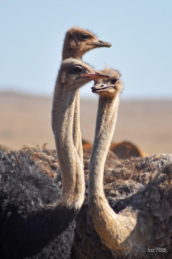 Ostrich trio by loz788