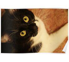 Oreo the model cat Poster